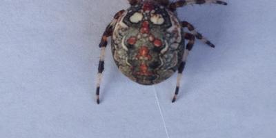 Помогите опознать паука