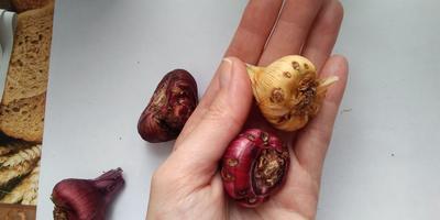 Подскажите, пожалуйста, что с луковицами гладиолусов?
