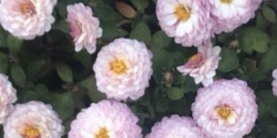 Подскажите, пожалуйста, как называется этот цветок?