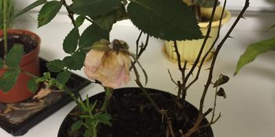 Помогите спасти розу