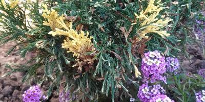 Как называется это хвойное растение? Почему желтые части веточек часто буреют?