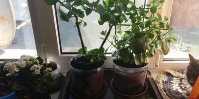 До какой высоты максимально может вырасти каланхоэ в домашних условиях?