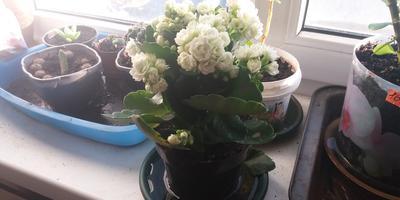 Почему сохнут и опадают цветы и бутоны у каланхоэ?