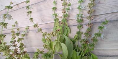 Подскажите, пожалуйста, что за растение на фотографии?