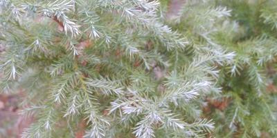 Что за хвойное дерево растет у нас на даче?