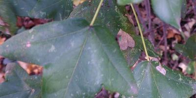 Помогите определить дерево по листьям