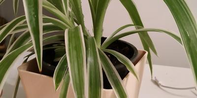 У растения листья вялые и сохнут кончики. В чем  проблема?
