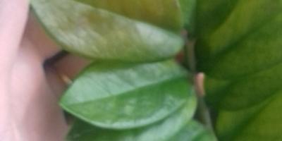 У замиокулькаса желтеют листья. В чем может быть причина?