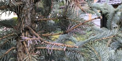 Помогите спасти голубую ель
