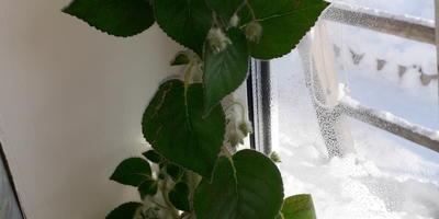 Скажите, пожалуйста, название этого комнатного растения