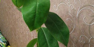 Подскажите, пожалуйста, что за дерево с глянцевыми листочками?