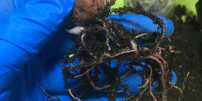 Почему корни гиппеаструма розовые?