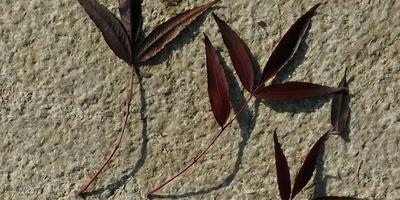 Как называется это дерево с темно-бордовыми листьями?