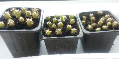 Можно ли определить виды кактусов среди проростков на фото?