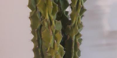 Что это за вид кактуса?