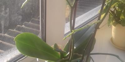 У орхидеи засыхают цветоносы. Как ей помочь?