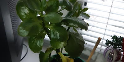 Подскажите название растения. Почему сохнут листья?