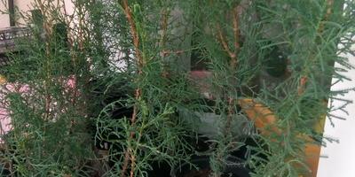 Как поступить с выращенными из семян кипарисами?