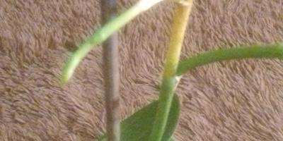 У орхидеи вялые, желтеющие нижние листья  и пожелтевший цветонос. В чем может быть причина?
