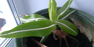 Как пересадить отросток комнатного растения?