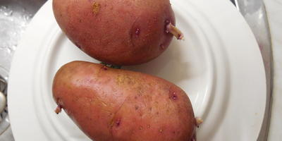Помогите определить название сорта картофеля