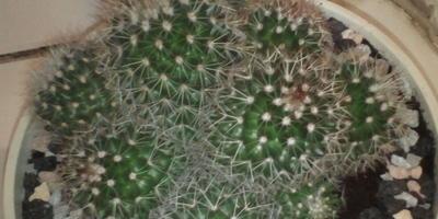 Подскажите название кактусов
