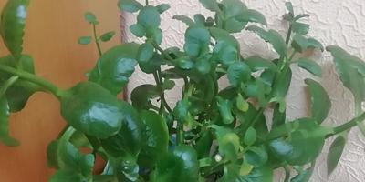 Что это за растение? Чем оно полезно или вредно для человека?