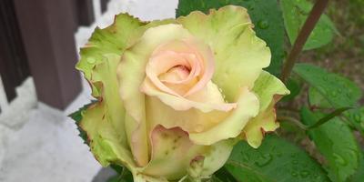 Правильно ли я планирую обрезать розы?