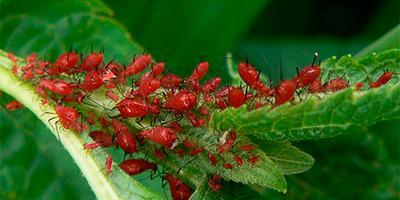 Кровяная тля на инжире: методы борьбы и профилактики