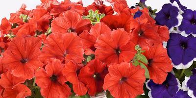 Вырастим красивые петунии с компанией Аэлита