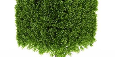 Выбор растений для топиари. Классические формы