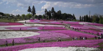 Вот такая весна в Японии, а у нас метель...