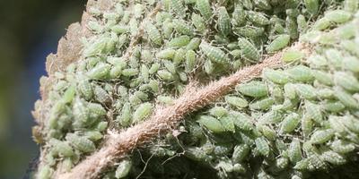 Народные методы борьбы с тлёй