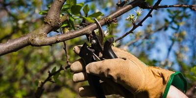 11 секретов хорошего урожая яблок
