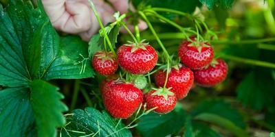 Как добиться хорошего урожая клубники?
