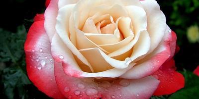 Как сохранить зимой розу сорта nostalgiе?