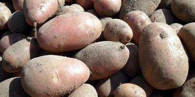 Как сохранить картошку на семена?