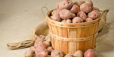 Как сохранить урожай картофеля до весны без потерь