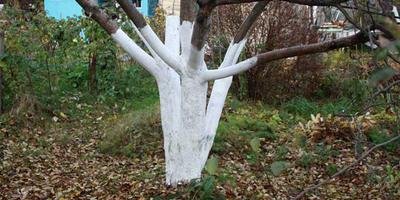 Побелка деревьев: когда, как и надо ли вообще