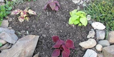 Вырастим колеус из семян?