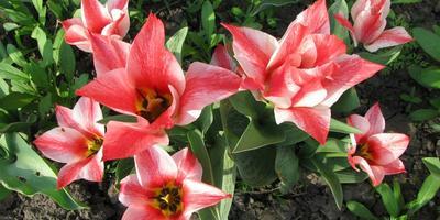 Мои любимые тюльпаны