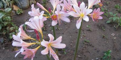 Как необычно цветет амариллис!