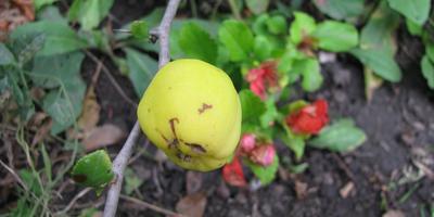 Пробуем плоды хеномелеса