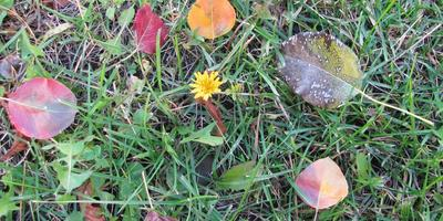 Осеннее цветение одуванчиков