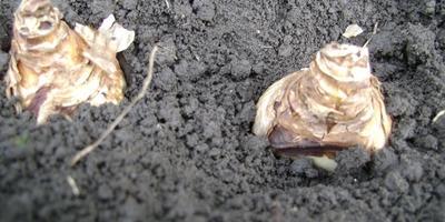 Главные правила осенней посадки луковичных