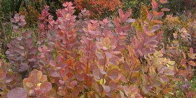 Осенняя скумпия во всей красе!