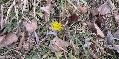 Одуванчики цветут в середине января