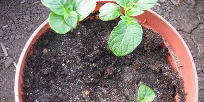 Эксперимент по выращиванию картофеля из кожуры