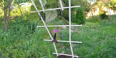 Быстрорастущая лиана: родохитон