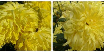 Старые хризантемы в новой оптике